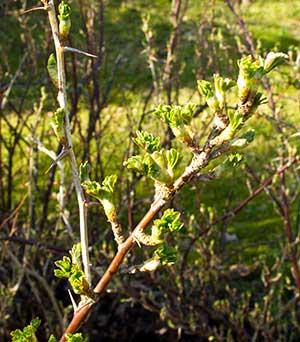 Krusbärsbuskar får blad