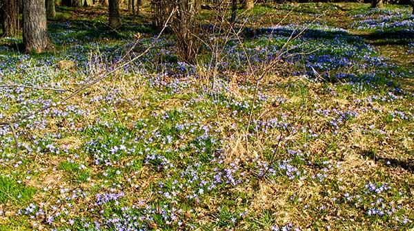 Blommande vårstjärna i Björkhagen