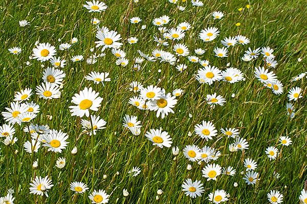 Blommande äng vid Skepparkroken i midsommarveckan 2010