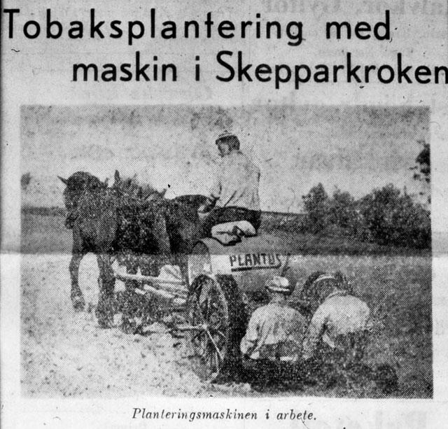 Thörns tobaksodling i Skepparkroken c:a 1947