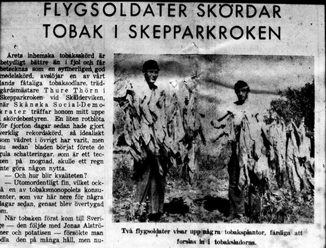 Tidningsartikel om Thörns tobaksodling i Skepparkroken c:a 1947