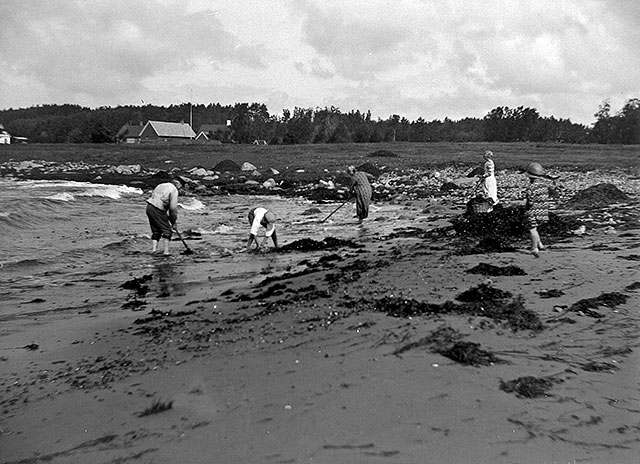 Tångsamlande i Björkhagen på 1920-talet (foto Robert Romberg)