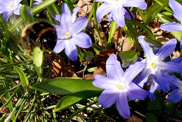 Vårstjärnor med humla i Björkhagen