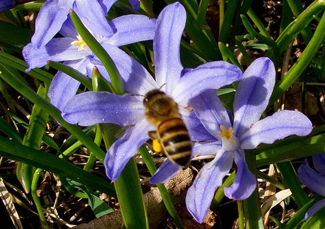 Vårstjärnor med bi i Björkhagen