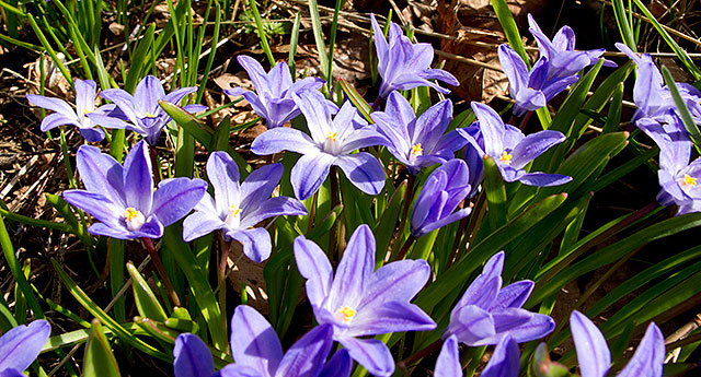 Vårstjärnor i Björkhagen