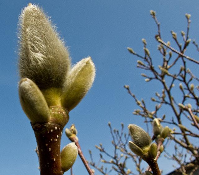 Magnolia i Björkhagen