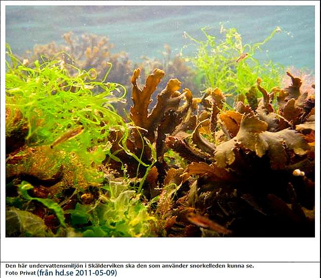 Snorkelled i Björkhagen - från hd.se 2011-05-09
