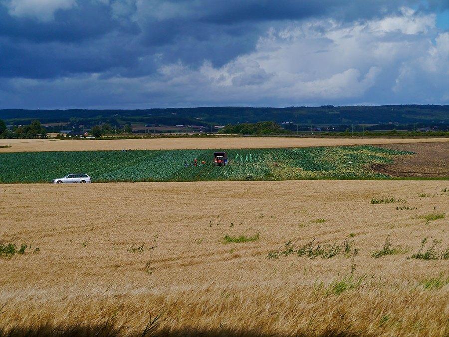 Skörd av grönsaker ovanför Björkhagen 2011-08-10