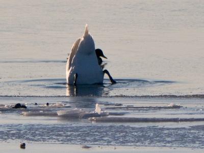 Dykande svan nedanför Björkhagen 6:e feb 2012