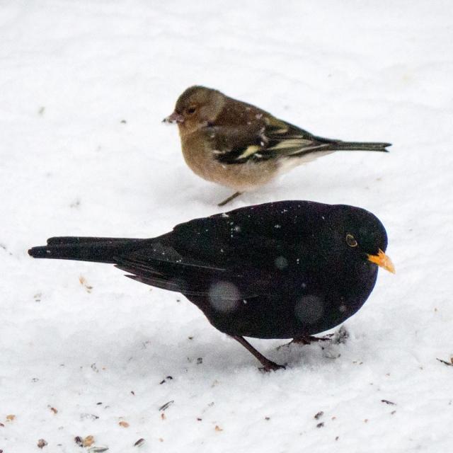 Koltrast och bofink i Björkhagen i januari 2014