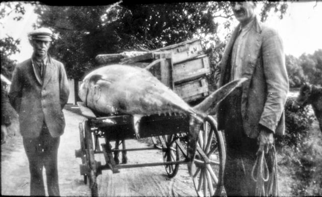Till höger Nils Hult med en tonfisk och en fiskhandlare på 1930-talet