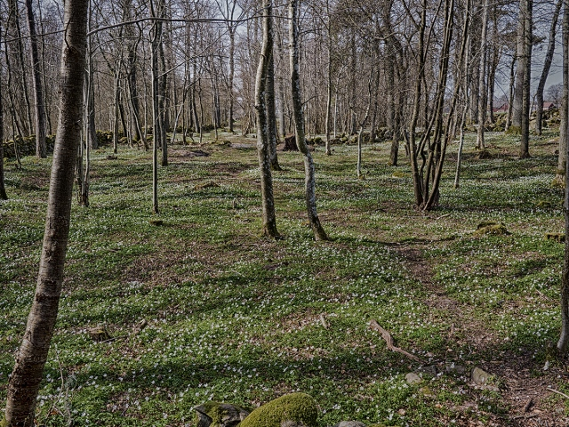 Vitsippor i Magnarpsskogen
