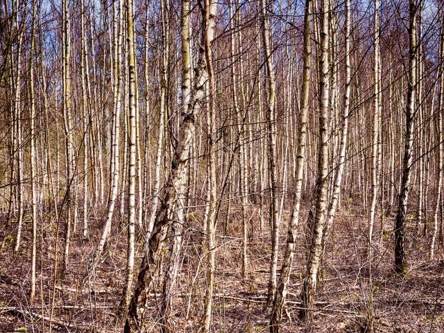 Björkar i Magnarpsskogen