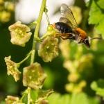 Rödavinbärsblommor med bi?