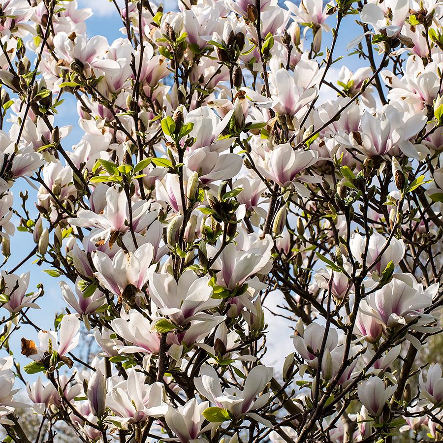 Magnoliablommor