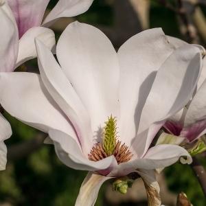 Magnoliablomma