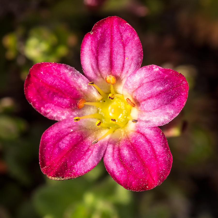 Okänd blomma i rabatt