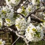Körsbärsblommor